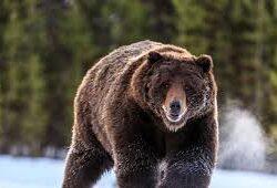 Ngủ mơ thấy con gấu đánh số gì? – Ý nghĩa giấc mơ