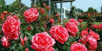 Chiêm bao thấy hoa hồng là điềm báo gì, lành hay dữ?