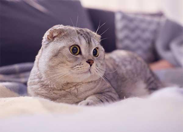 mộng thấy mèo