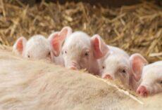 Mộng thấy lợn đẻ đánh đề số mấy, có ý nghĩa gì