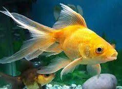 Giấc mơ thấy cá vàng điềm báo gì, lành hay dữ?