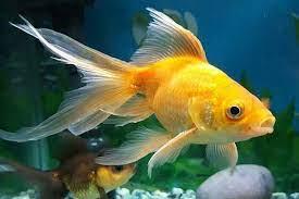 giấc mơ thấy cá vàng