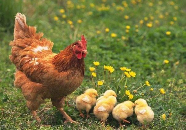 nằm mơ thấy gà mái